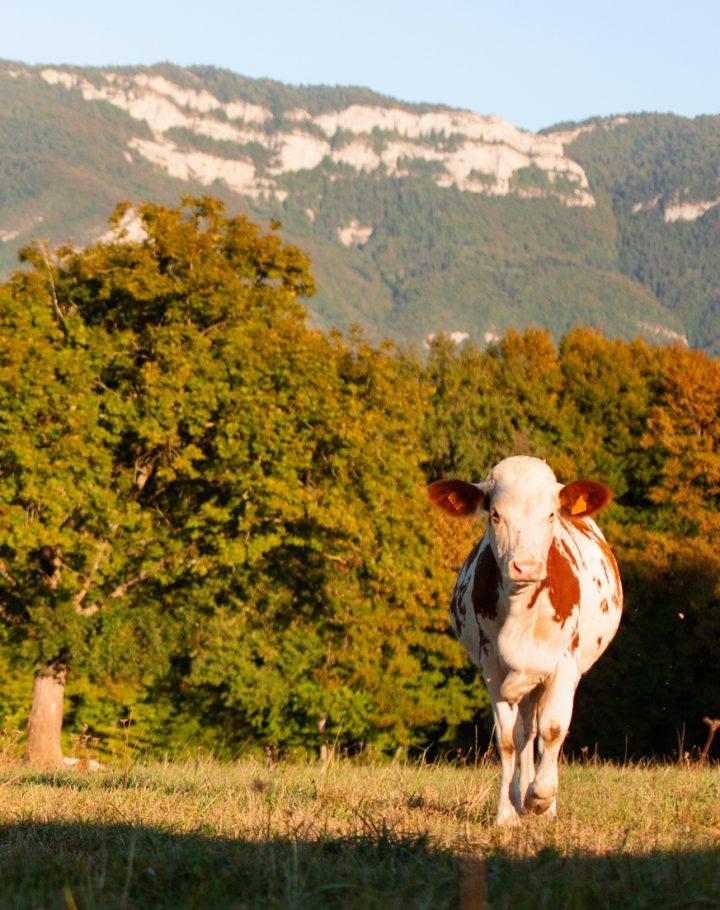 Troupeau de vaches Montbéliarde
