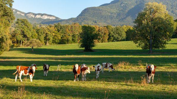Vaches dans les champs savoyard